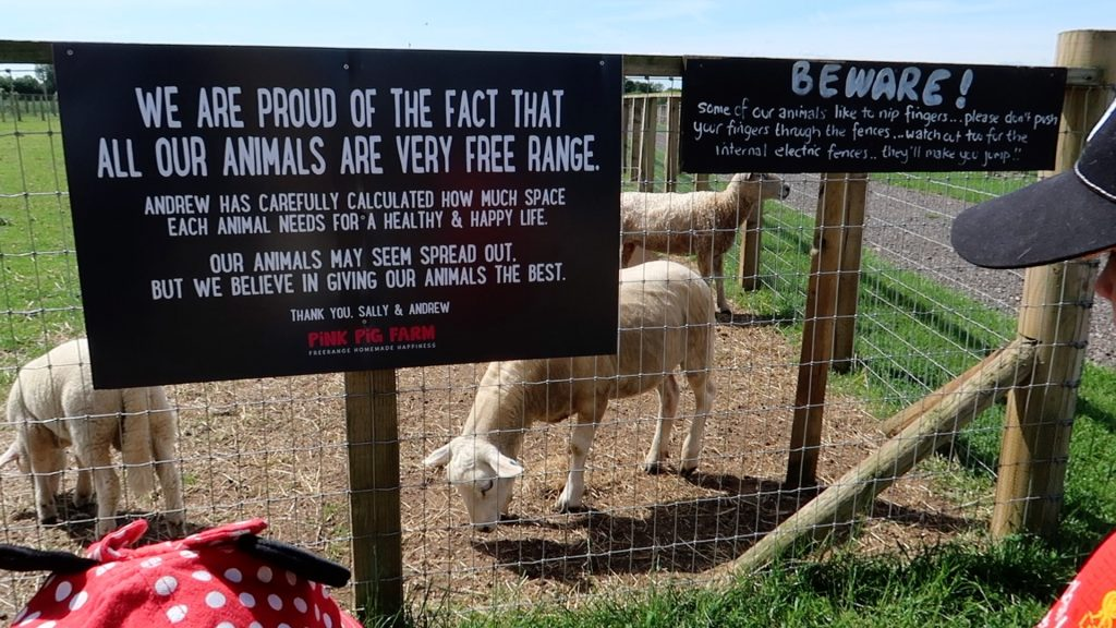 Things to do in Lincolnshire   The Pink Pig Farm, Holme near Scunthorpe sheep