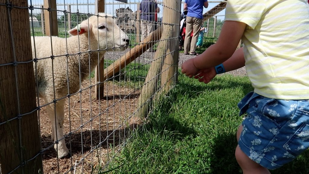 Things to do in Lincolnshire | The Pink Pig Farm, Holme near Scunthorpe feeding sheep
